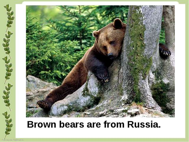 Brown bears are from Russia. FokinaLida.75@mail.ru