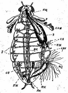 Внутреннее органы самца черного таракана