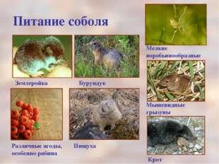 Питание соболя Мелкие воробьинообразные Мышевидные грызуны Крот Землеройка Бу