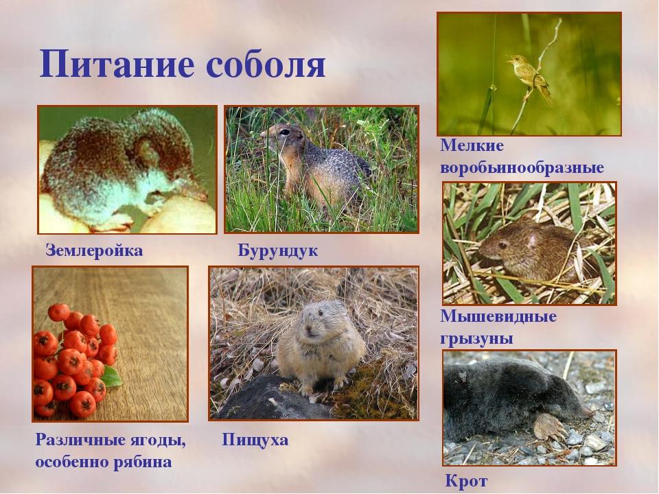 Питание соболя Мелкие воробьинообразные Мышевидные грызуны Крот Землеройка Бу...