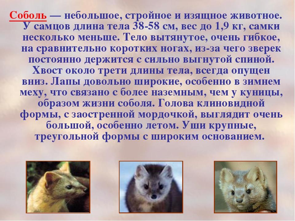 Соболь животное фото описание