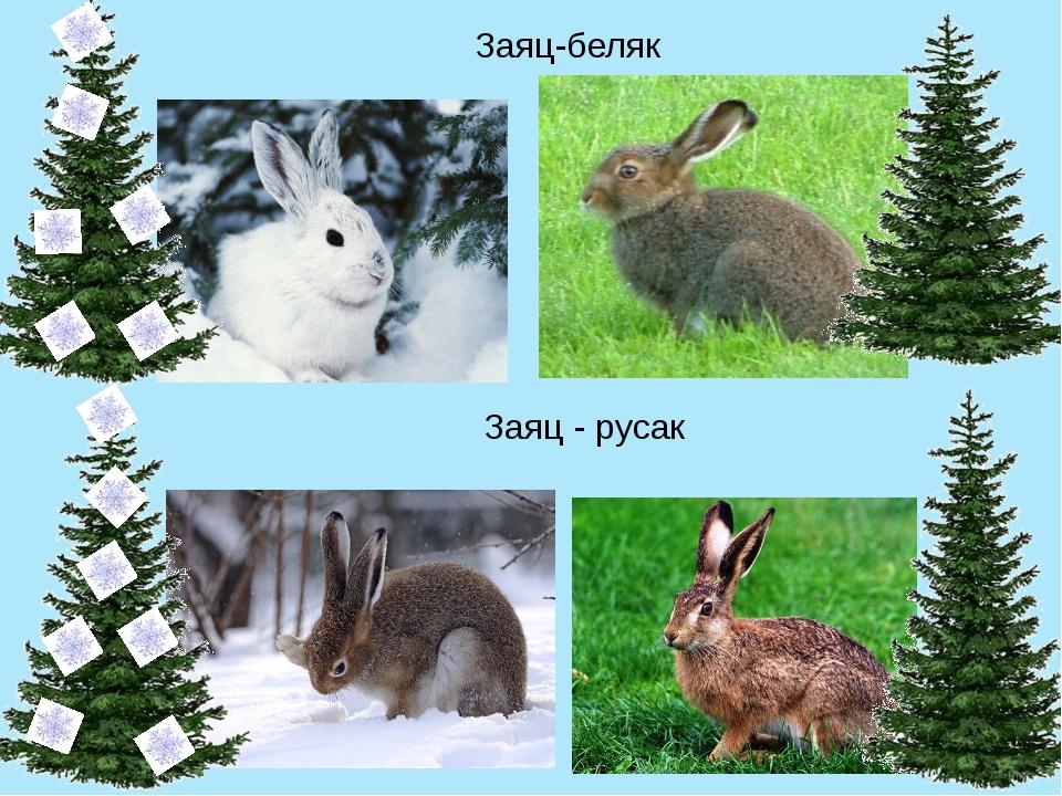 Заяц-беляк Заяц - русак