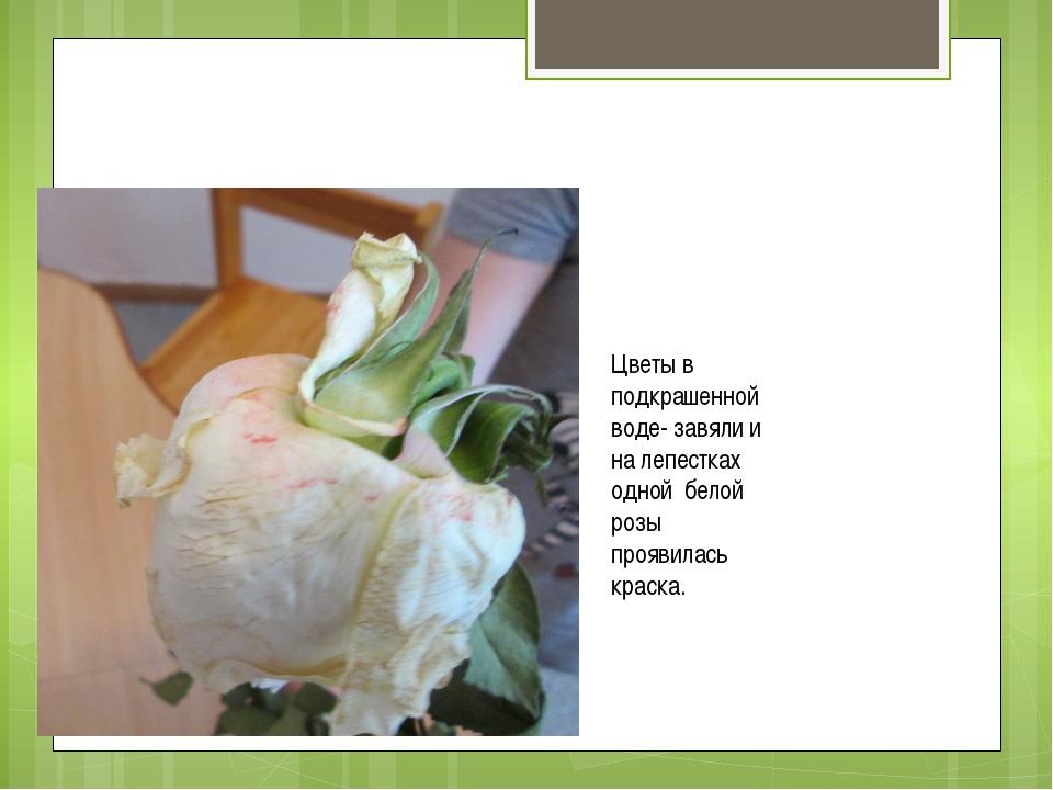 Цветы в подкрашенной воде- завяли и на лепестках одной белой розы проявилась...