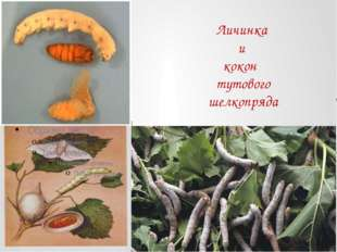 Личинка и кокон тутового шелкопряда