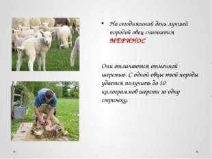 На сегодняшний день лучшей породой овец считается МЕРИНОС Они отличаются отме