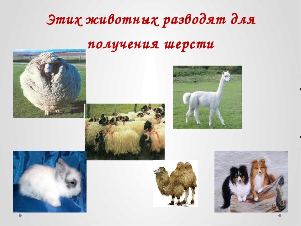 Этих животных разводят для получения шерсти