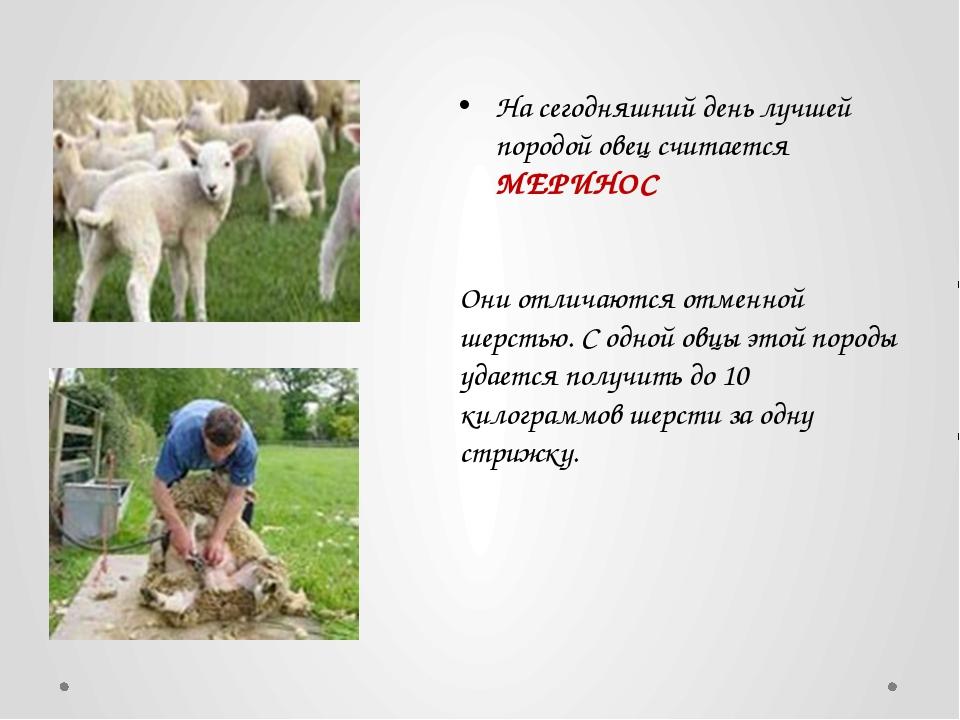 На сегодняшний день лучшей породой овец считается МЕРИНОС Они отличаются отме...