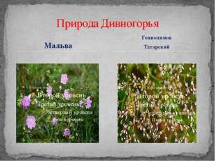 Мальва Природа Дивногорья Гониолимон Татарский