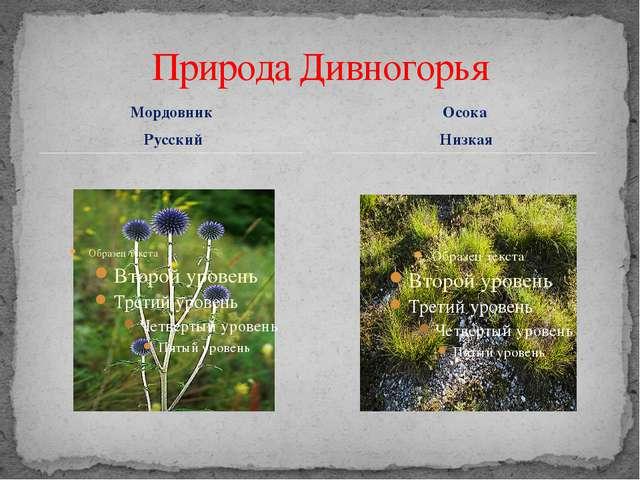 Мордовник Русский Природа Дивногорья Осока Низкая