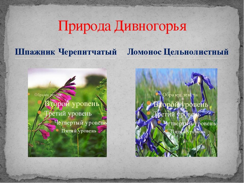 Шпажник Черепитчатый Природа Дивногорья Ломонос Цельнолистный