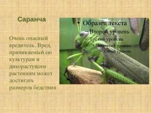 Саранча Очень опасный вредитель. Вред, причиняемый ею культурам и дикорастущи
