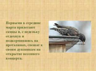 Первыми в середине марта прилетают самцы и, с недельку отдохнув и подкормивш
