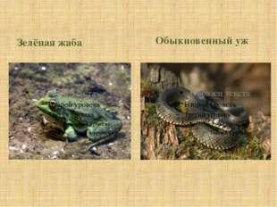 Зелёная жаба Обыкновенный уж