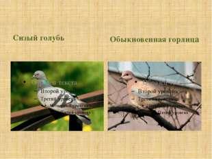 Сизый голубь Обыкновенная горлица