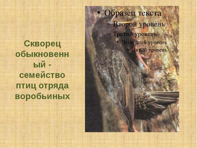 Скворец обыкновенный - семейство птиц отряда воробьиных
