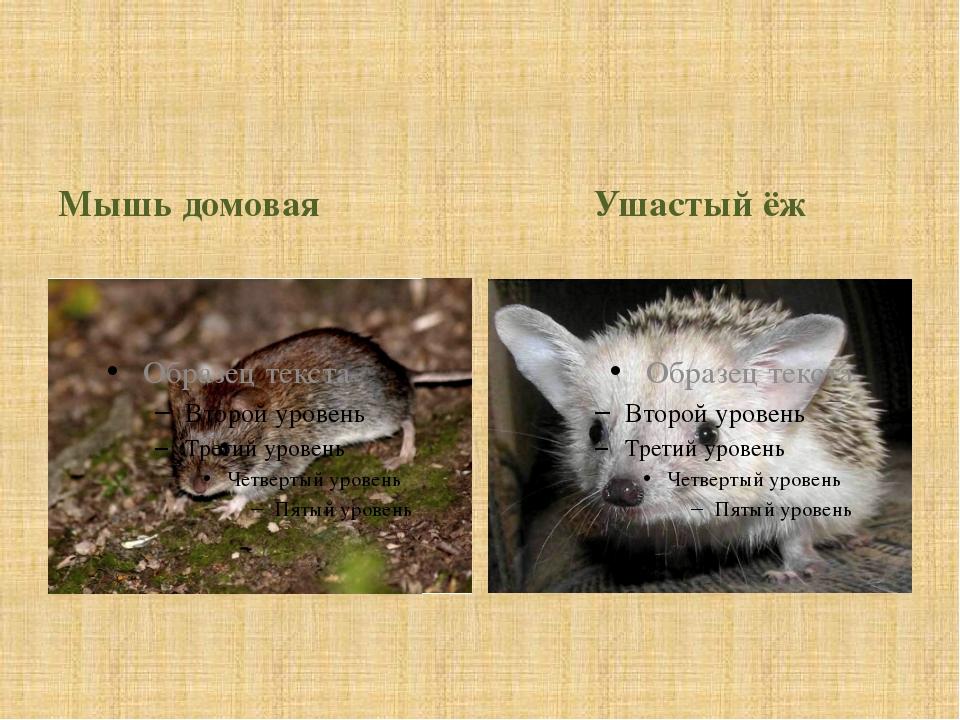 Мышь домовая Ушастый ёж