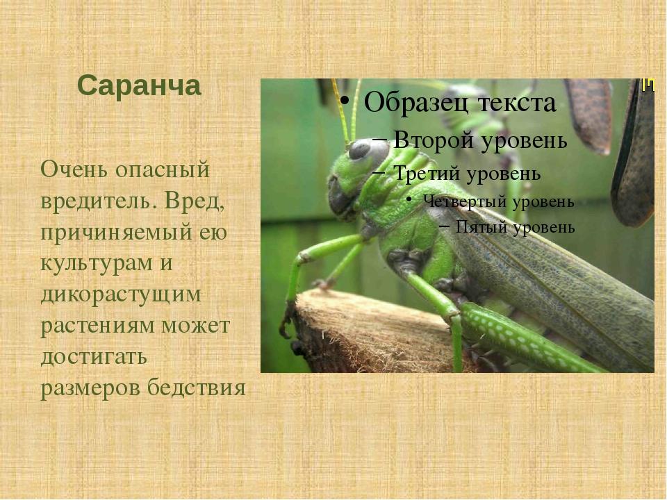 Саранча Очень опасный вредитель. Вред, причиняемый ею культурам и дикорастущи...