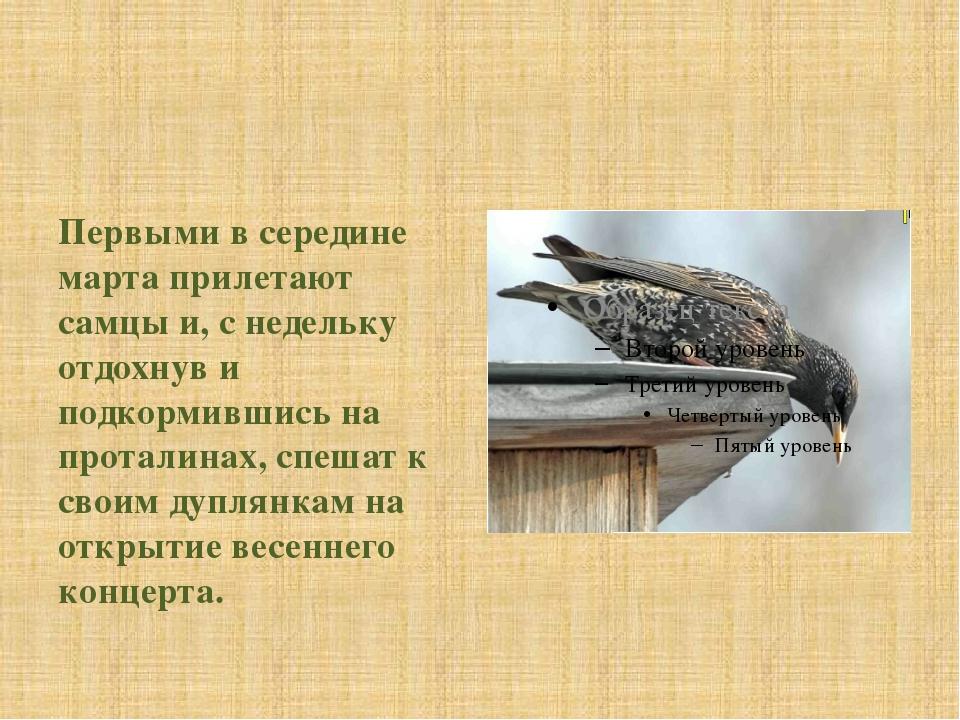 Первыми в середине марта прилетают самцы и, с недельку отдохнув и подкормивш...
