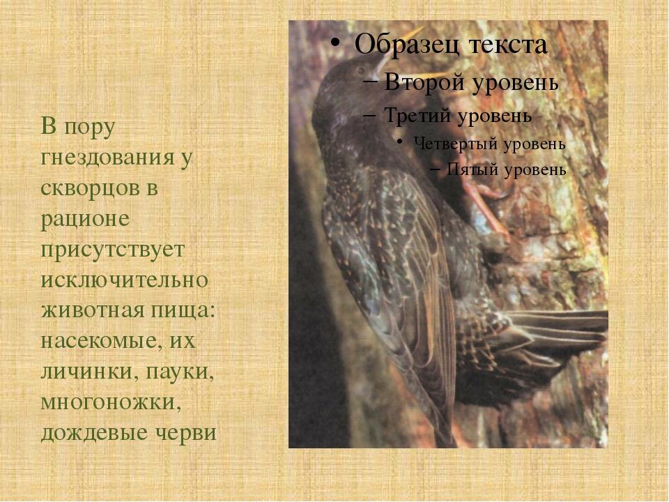 В пору гнездования у скворцов в рационе присутствует исключительно животная...