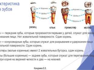 Характеристика типов зубов Резцы — передние зубы, которые прорезаются первыми
