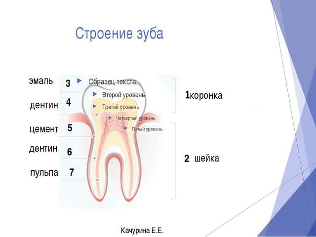 Строение зуба эмаль коронка 3 2 шейка дентин 4 цемент 5 6 дентин пульпа 7 Кач...