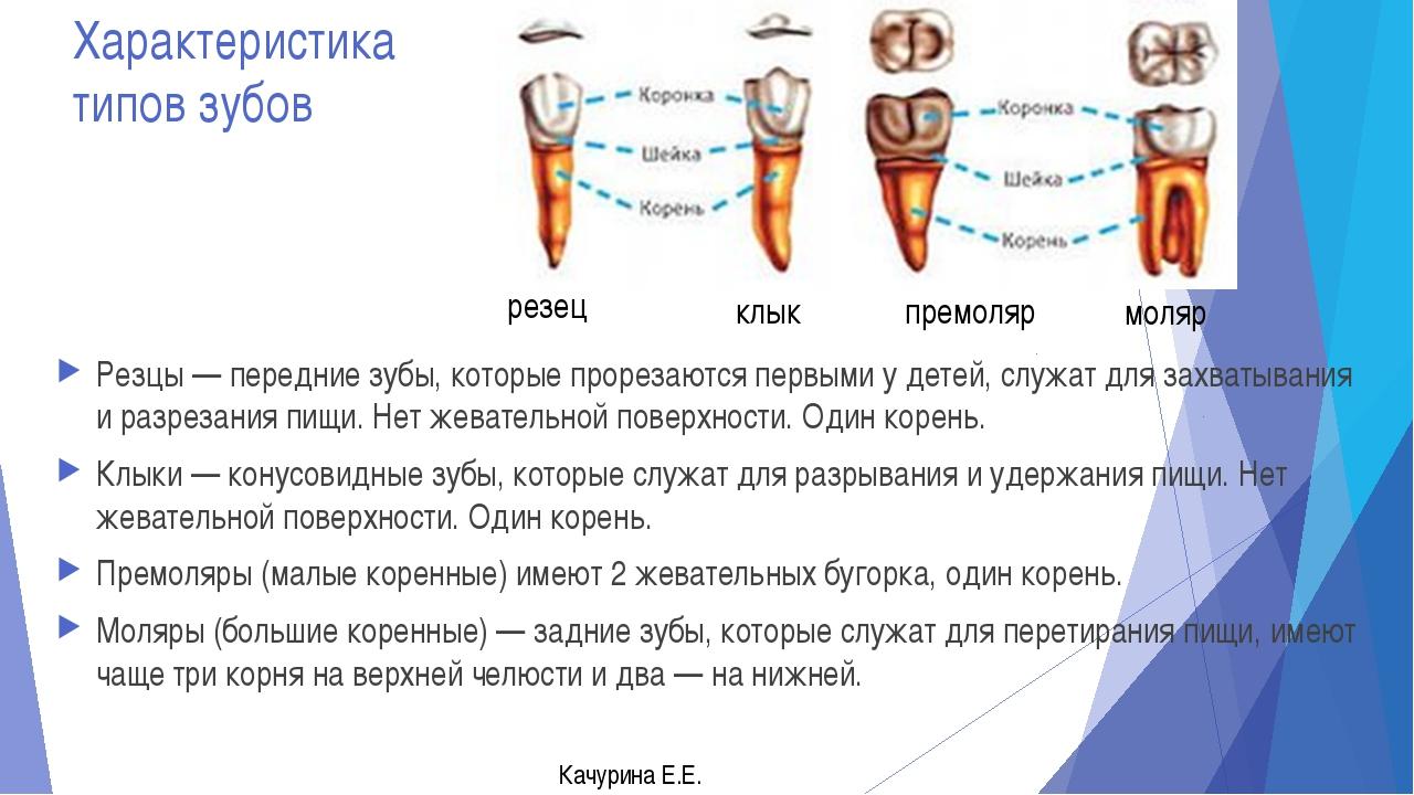 Характеристика типов зубов Резцы — передние зубы, которые прорезаются первыми...