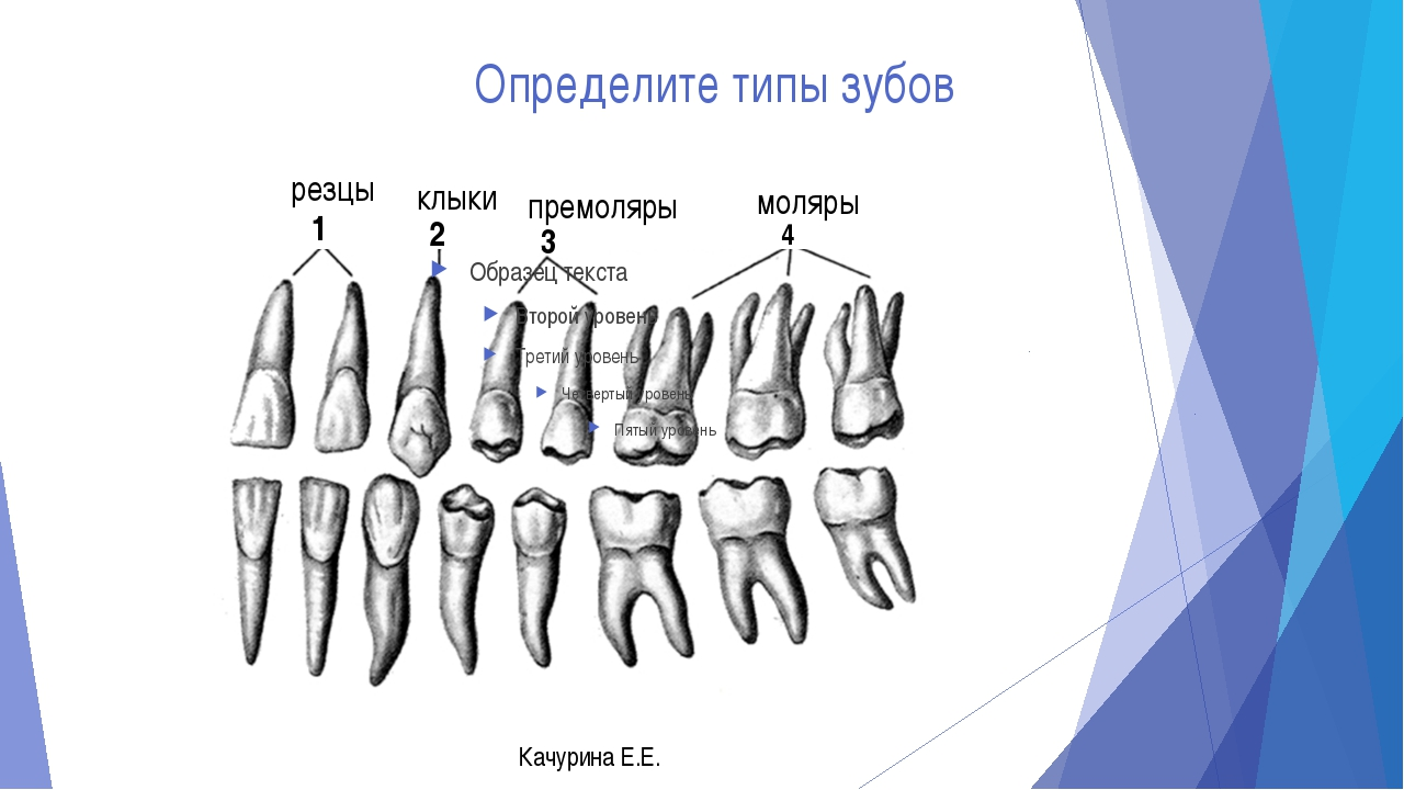 гордость типы зубов человека в картинках наиболее