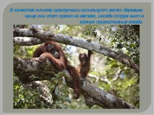 В качестве ночлега орангутаны используют ветки деревьев: чаще они спят прямо