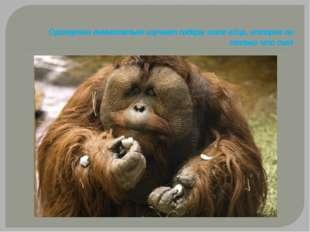 Орангутан внимательно изучает содержимое яйца, которое он только что съел