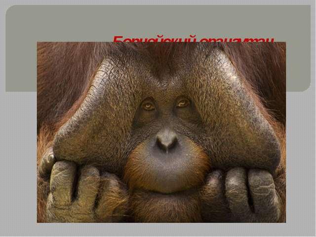 Борнейский орангутан