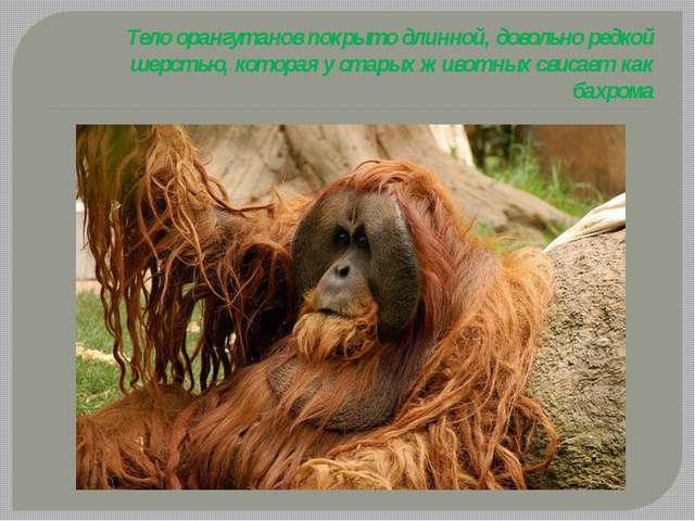 Тело орангутанов покрыто длинной, довольно редкой шерстью, которая у старых ж...