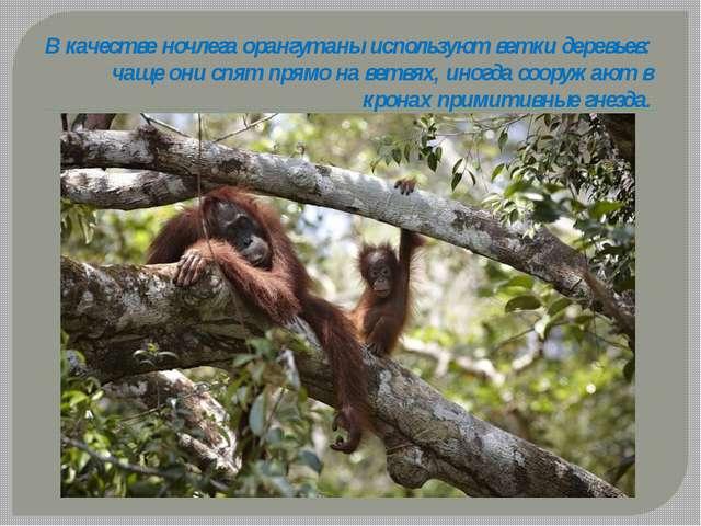 В качестве ночлега орангутаны используют ветки деревьев: чаще они спят прямо...
