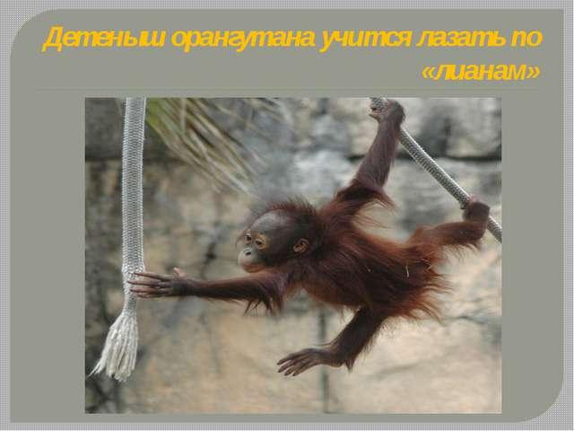 Детеныш орангутана учится лазать по «лианам»