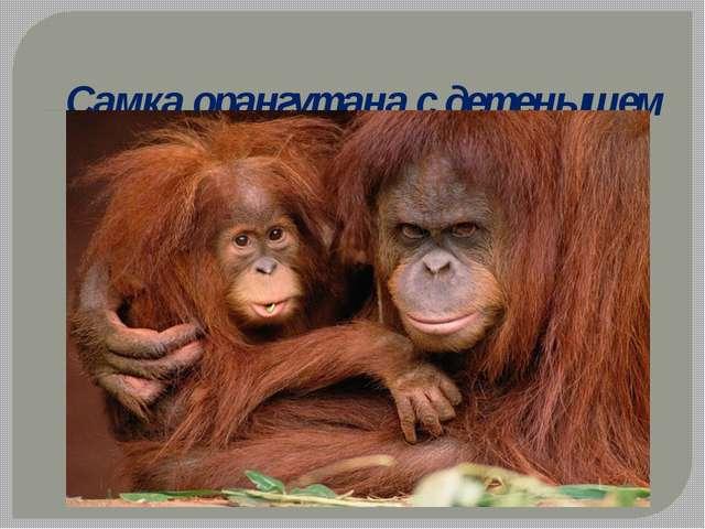 Самка орангутана с детенышем