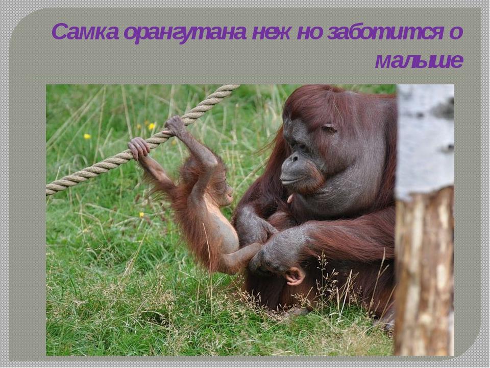 Самка орангутана нежно заботится о малыше