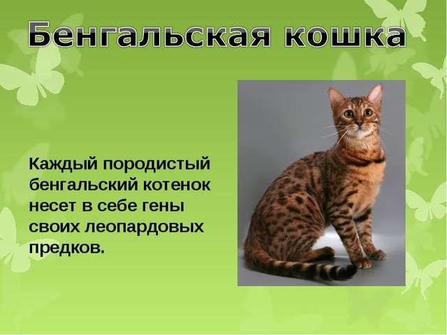 Каждый породистый бенгальский котенок несет в себе гены своих леопардовых пре...
