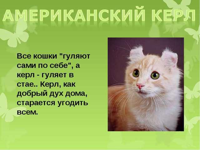 """Все кошки """"гуляют сами по себе"""", а керл - гуляет в стае.. Керл, как добрый ду..."""