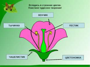 Вглядись в строение цветка- Поистине чудесное творение! ВЕНЧИК ПЕСТИК ЦВЕТОН