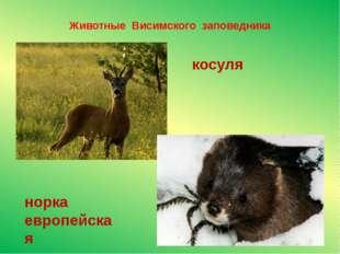 Животные Висимского заповедника норка европейская косуля