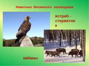 Животные Висимского заповедника кабаны ястреб - стервятник