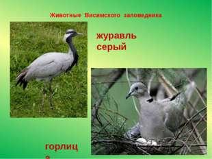 Животные Висимского заповедника горлица журавль серый