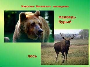 Животные Висимского заповедника медведь бурый лось