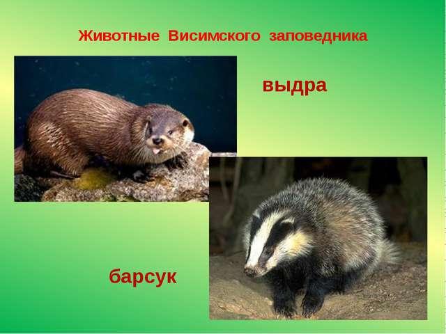 Животные Висимского заповедника выдра барсук