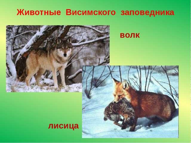 Животные Висимского заповедника волк лисица