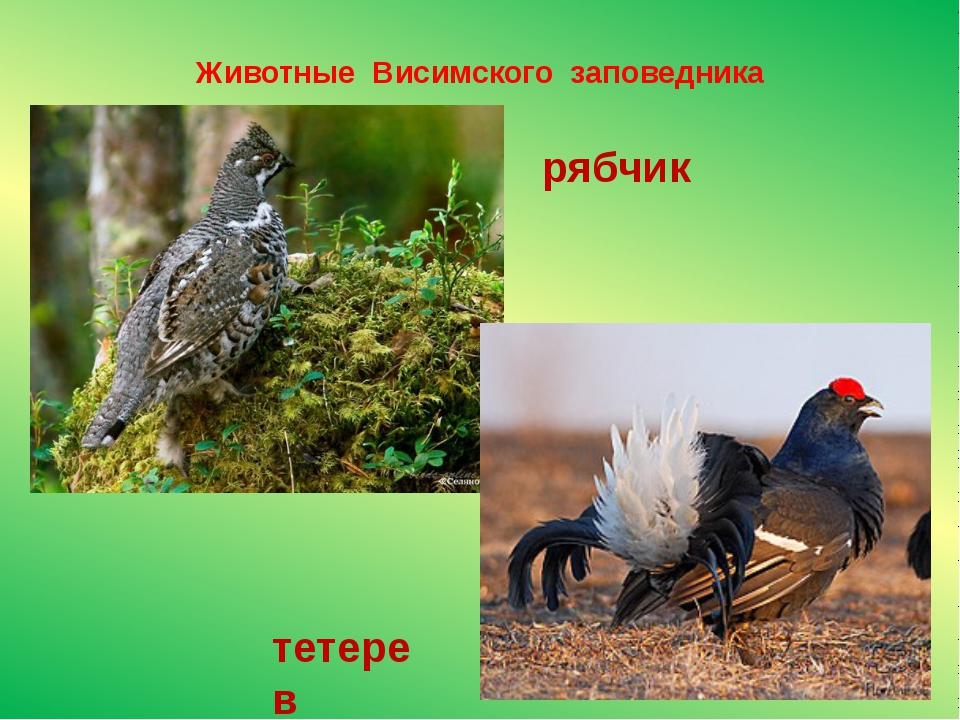 Животные Висимского заповедника рябчик тетерев