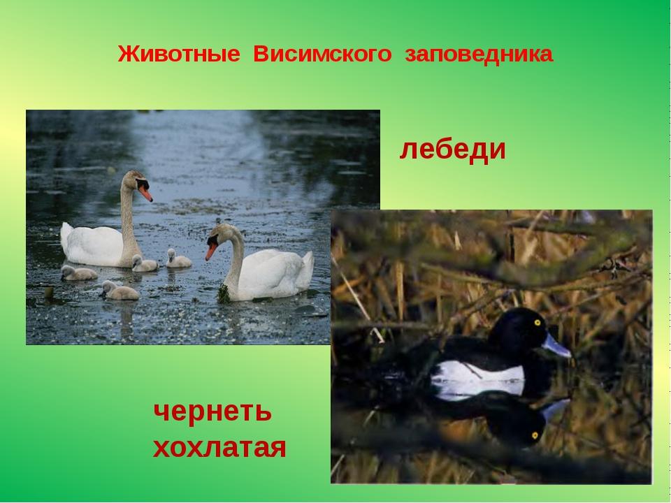 Животные Висимского заповедника лебеди чернеть хохлатая