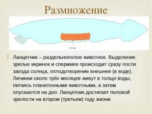Ланцетник – раздельнополое животное. Выделение зрелых икринок и спермиев прои