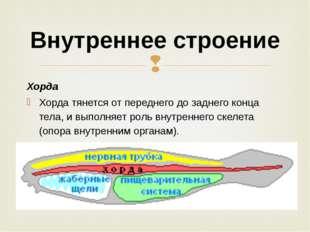 Хорда Хорда тянется от переднего до заднего конца тела, и выполняет роль внут