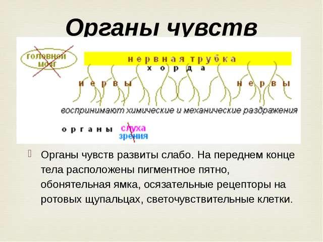 Органы чувств развиты слабо. На переднем конце тела расположены пигментное пя...