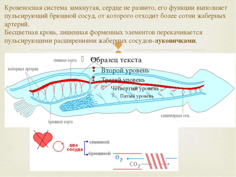 Кровеносная система замкнутая, сердце не развито, его функции выполняет пуль...